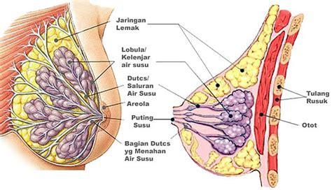 Tips Untuk Wanita Hamil 6 Bulan Meilankiky Anatomi Payudara Untuk Menyusui Anatomy Of