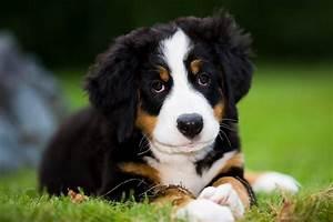 Berner Sennenhund Gewicht : berner sennenhund jackys hunde wiki fandom powered by wikia ~ Markanthonyermac.com Haus und Dekorationen