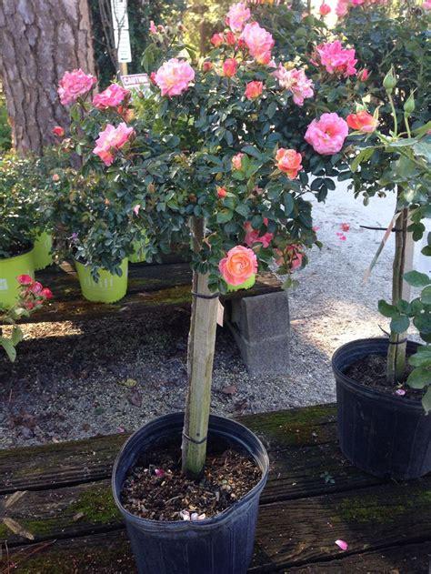 Drift Rose Tree-Coral Bob Wines Camellia Gardens-Ocala Fl ...