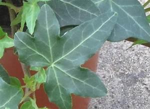 Kübelpflanzen Winterhart Schattig : hedera helix 39 asterisk 39 efeu pflanzen versand f r die ~ Michelbontemps.com Haus und Dekorationen