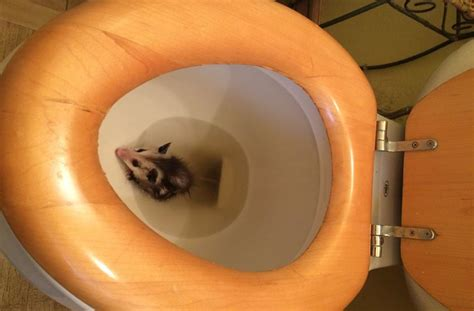 finds tiniest opossum baby hiding inside toilet