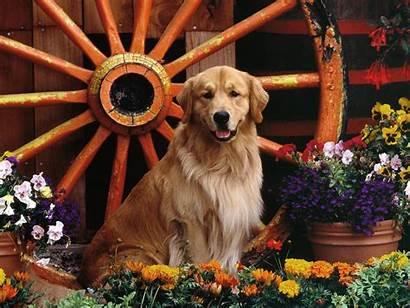 Golden Retriever Dog Exercise Temperament Inspirationseek