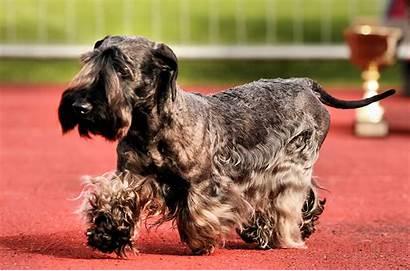 Terrier Cesky Dog Walking Blaine Marvin Breeds