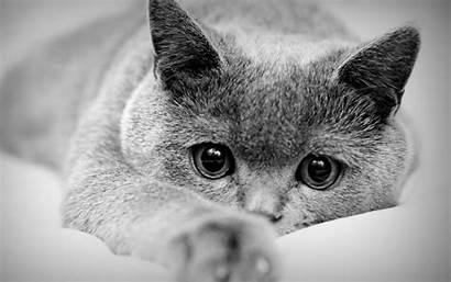 British Shorthair Cat Baltana Wallpapers