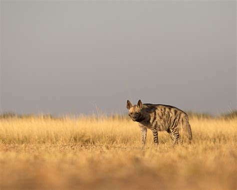 striped hyena facts diet habitat pictures