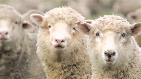 5 Unusual Facts About Sheep - YouTube