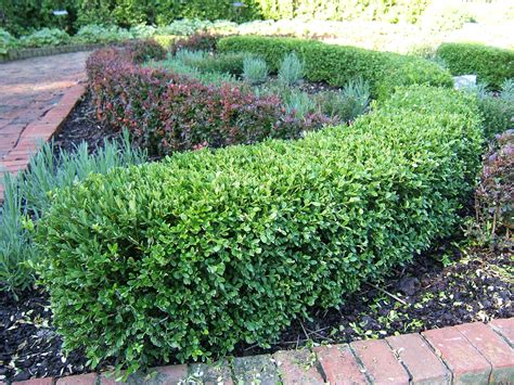 hedge bushes korean littleleaf boxwood umn extension