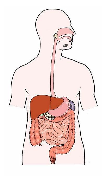 Digestive System Labels Diagram Labeled Without Simple