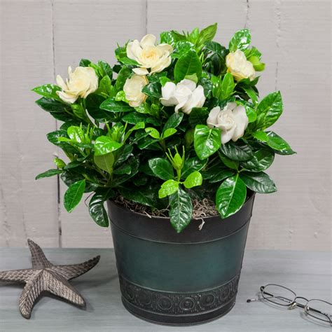 Fragrant Gardenia Gifts For Every Occasion