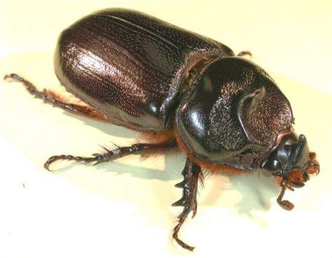 Coconut Rhinoceros Beetle - Biosecurity Solomon Islands