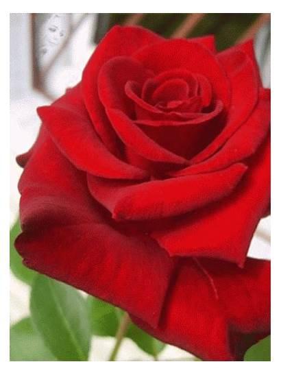 Morning Roses Weekend Bouquets Reddit Skype Google