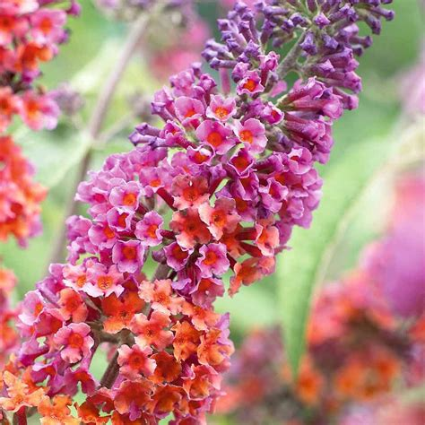 butterfly bush flower power healthy mixed colour