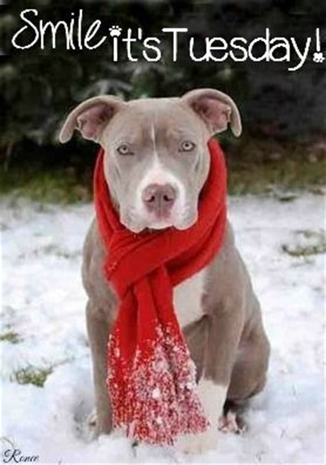 smile  tuesday quote  pit bull pictures