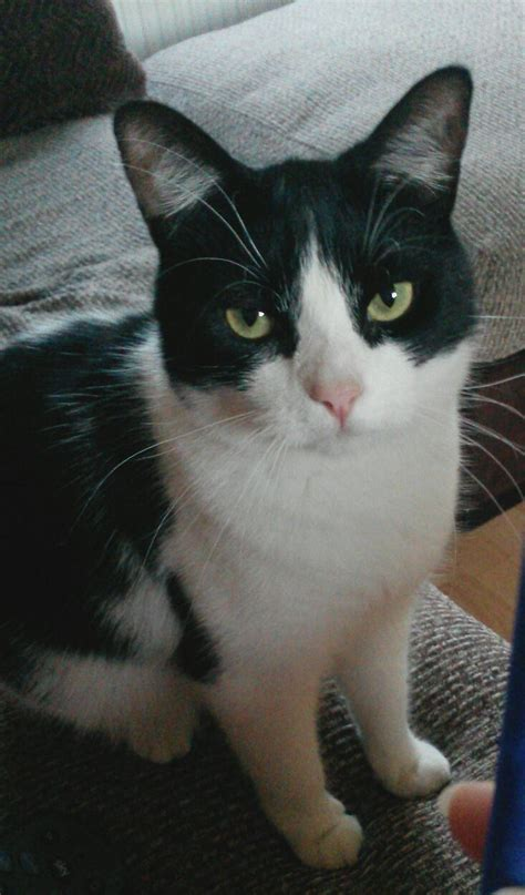 cat years felix male called very friendly warrington cats breed pets4homes mixed ago cheshire