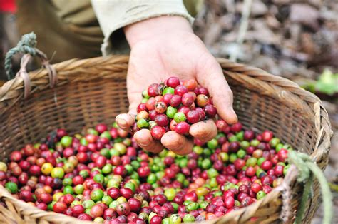 Through transparent and honest sourcing we promote sustainability and progression for people and communities in coffee producing countries. When is Coffee Harvested? - Driftaway Coffee