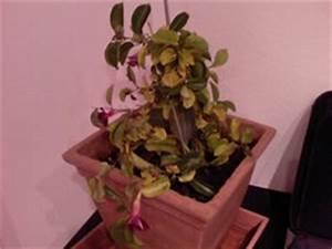 Dipladenia Gelbe Blätter : mandevilla sanderi im lubera gartenshop ~ Udekor.club Haus und Dekorationen