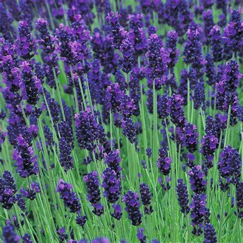 true lavender plants english lavender our plants kaw valley greenhouses