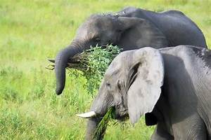 What Do Elephants Eat In The Wild African Savanna?