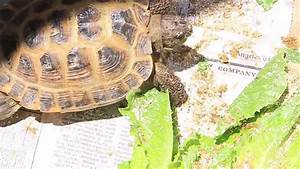 Lunch Time With Baby Russian Tortoise and California ...