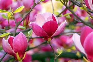 Magnolie Im Topf : magnolie pflanzen pflegen und schneiden ~ Lizthompson.info Haus und Dekorationen