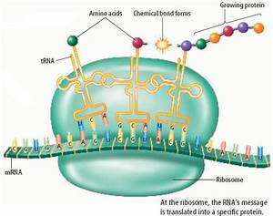 What Is The Second Step Of Protein Synthesis