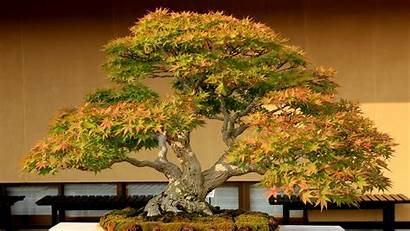 Bonsai Tree 4k Wallpapers Background Earth Resolution