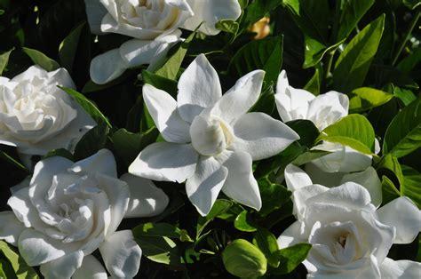 Gardenia Summer Snow by Plant Detail Willoway Nurseries Inc