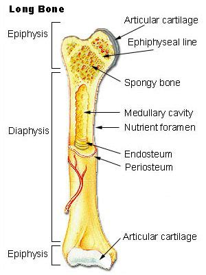 Anatomy students in traditional classes may do practice labeling the bone on paper or even doing a coloring activity to help them learn the. Adventist Youth Honors Answer Book/Health and Science/Bones, Muscles, and Movement - Wikibooks ...