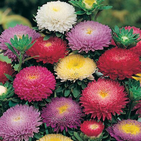 jual benih biji bunga aster pompon mixed hias bunga