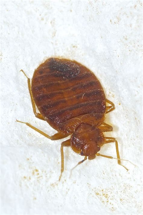 17 Best Images About Don't Let The Bed Bugs Bite On