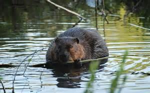 Colorado Beaver Animal
