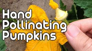 Hand Pollinating Pumpkins