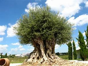 Planter Un Olivier En Pot : olivier olive planter cultiver r colter ~ Dode.kayakingforconservation.com Idées de Décoration