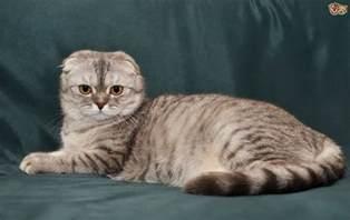 scottish fold cats for scottish fold cat breed information buying advice photos