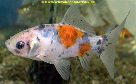wie groß werden goldfische aquaristik fachhandel f 252 r zierfische koi kleintiere aquarien und teichzubeh 246 r