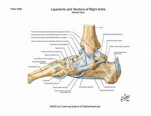 Medial Ankle Ligaments