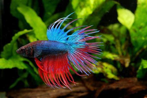 popular  attractive types  betta fish