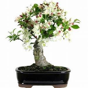 Bonsai Pflege Für Anfänger : apfelbaum bonsai pflege ~ Frokenaadalensverden.com Haus und Dekorationen