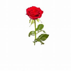 Rosen Kaufen Günstig : rosen g nstig online kaufen mein sch ner garten shop ~ Markanthonyermac.com Haus und Dekorationen