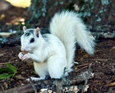 White Squirrel Related Keywords  White Squirrel Long Tail