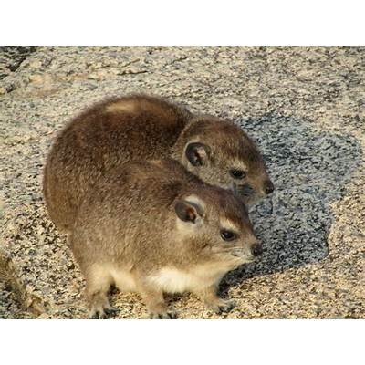 Wildlife of the World: Hyrax Animal Facts & Images 2013