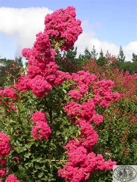 winter hill tree farm indian summer coral pink crepe myrtle lagerstroemia tuscarora