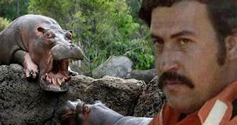 Pablo Escobar's hippos keep multiplying and Colombia doesn't know how to stop it…