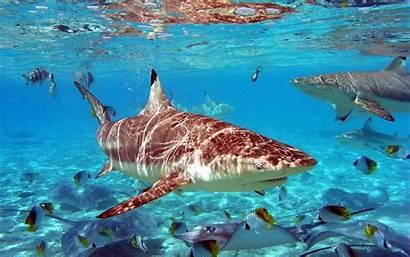Sharks Desktop Wallpapers Backgrounds Shark Background Tag