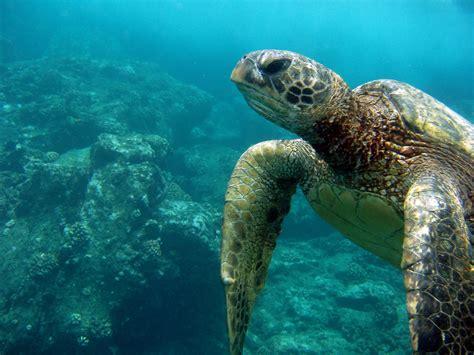 Maui Turtle By Echrei On Deviantart
