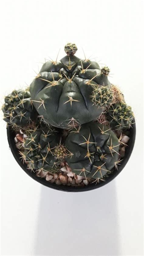ขายต้นไม้ ยิมโนคาไลเซียม Gymnocalycium anisitsii damsii ยิมโนแม่ลูกดก โดยร้าน Cake cactus farm ...