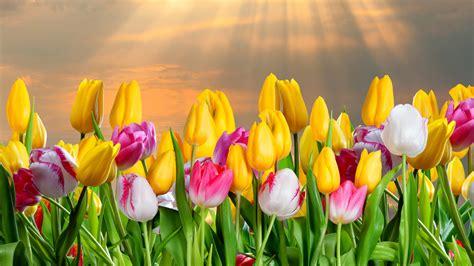 tulip computer wallpapers desktop backgrounds