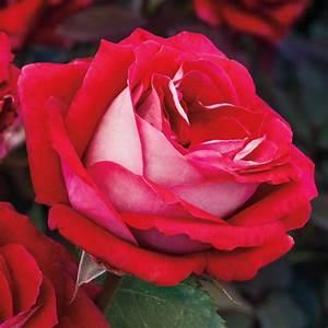 Grateful Heart U2122 Hybrid Tea Rose