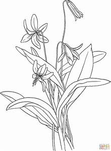 Tiger Lily Coloring Pages | www.pixshark.com - Images ...
