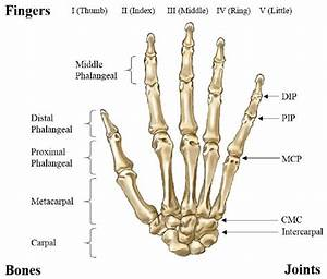 Bones And Joints Of A Human Hand
